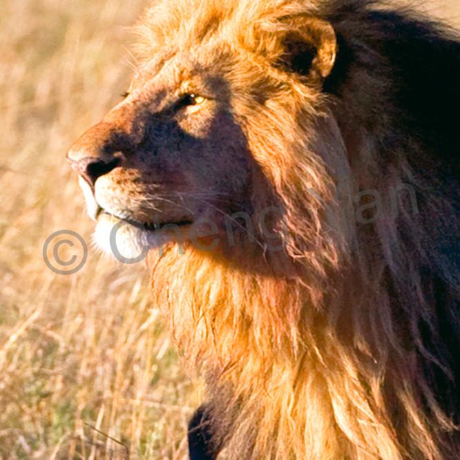 Lions 012 wwoukr