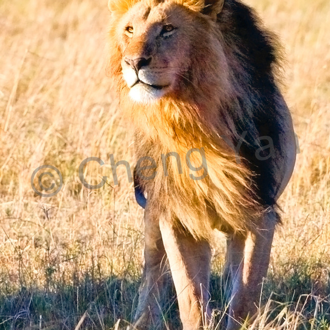 Lions 011 b1hvdz
