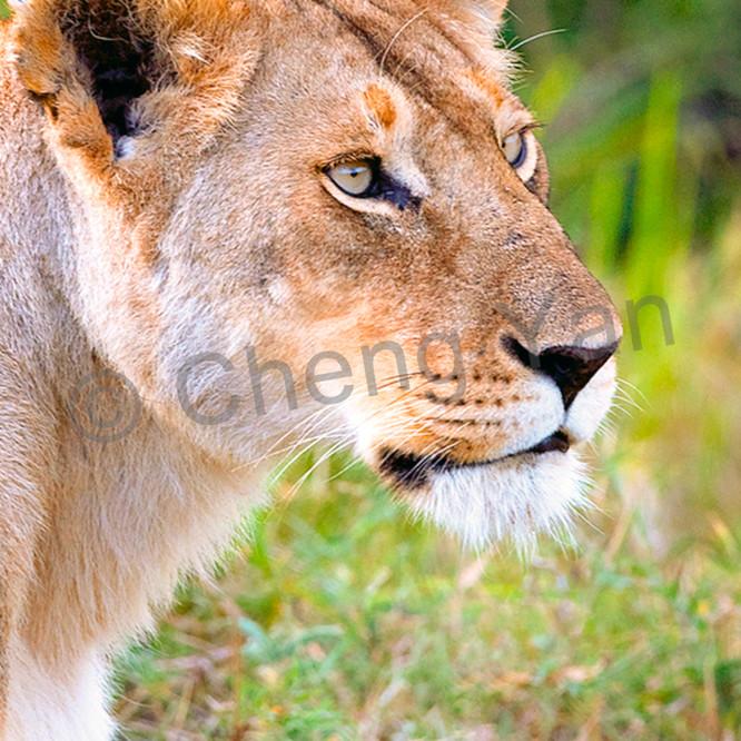 Lions 010 zmilgn