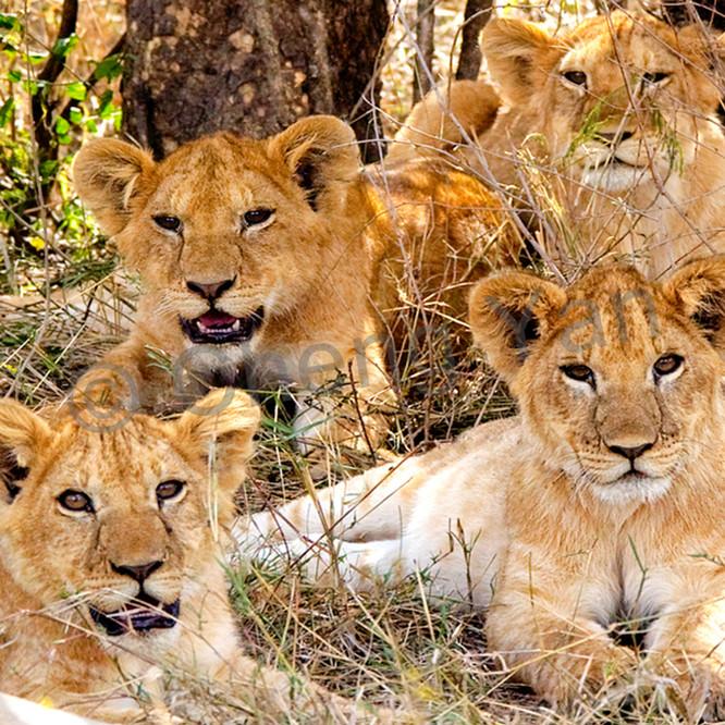 Lions 014 k9q8sy