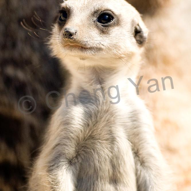 Meerkats 007 bfjzkw