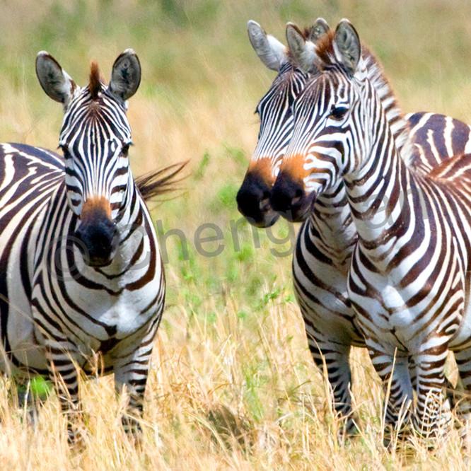 Zebras 004 iugqqf