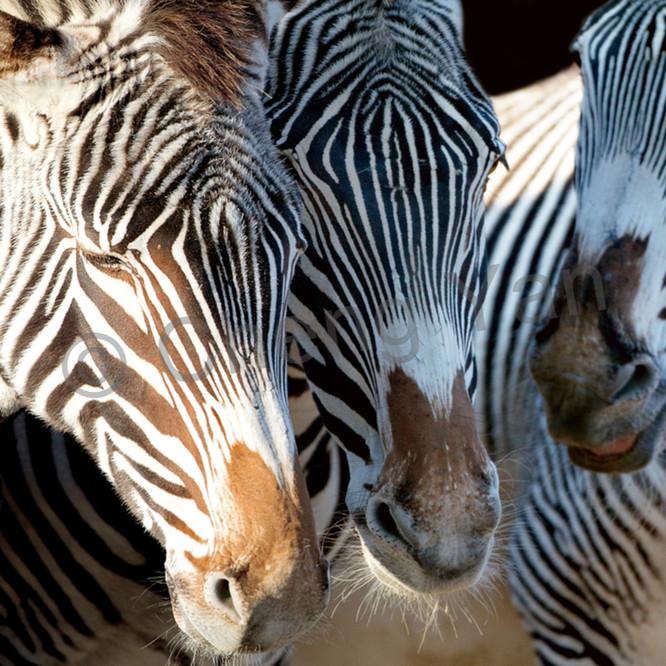 Zebras 007 azpyms