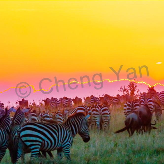 Zebras 010 wwndbb