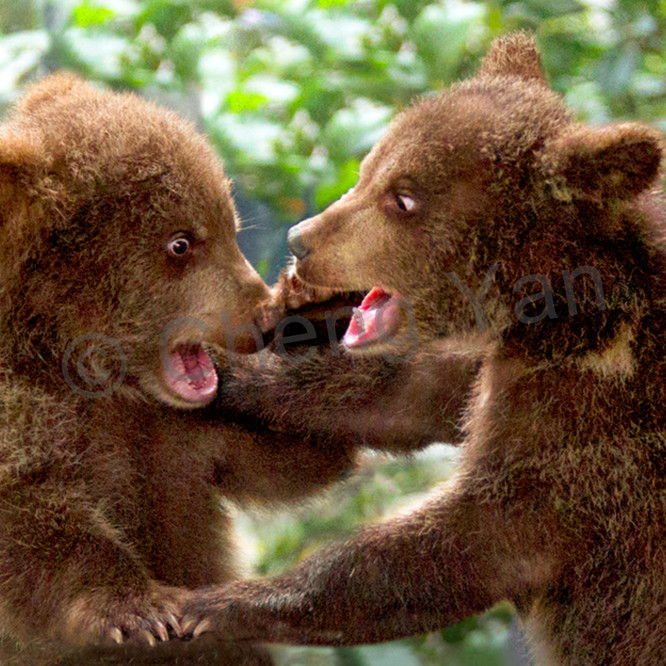 Bears 002 suy4r9