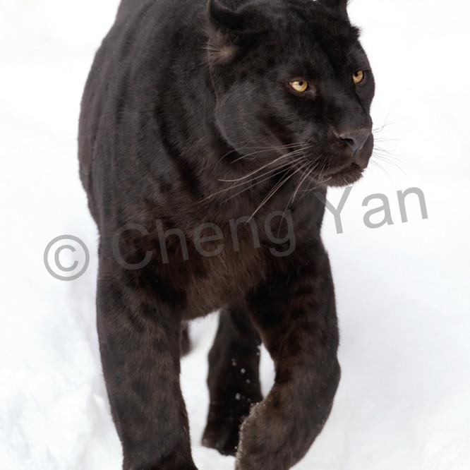 Black panthers 004 wf0d1p