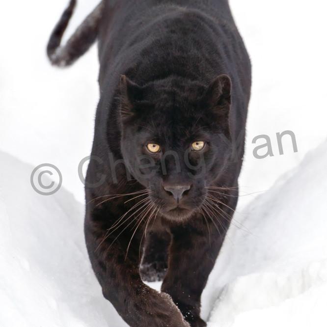 Black panthers 003 upfqi1