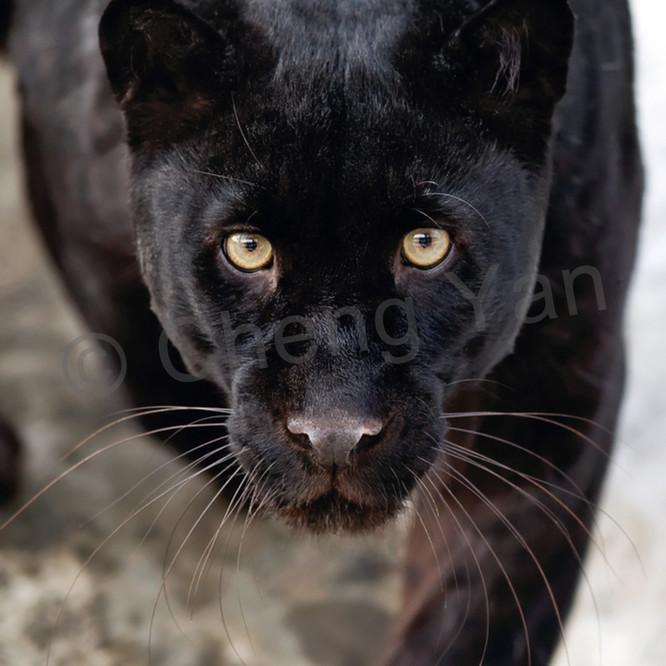Black panthers 002 rviys0