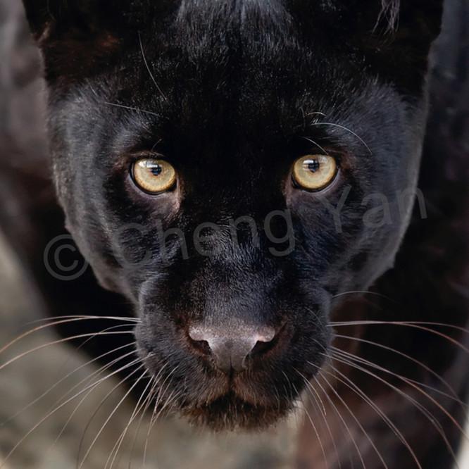 Black panthers 001 zj7kqw