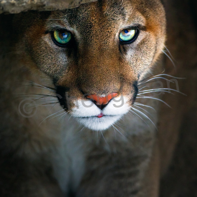 Cougars 005 uoprmg