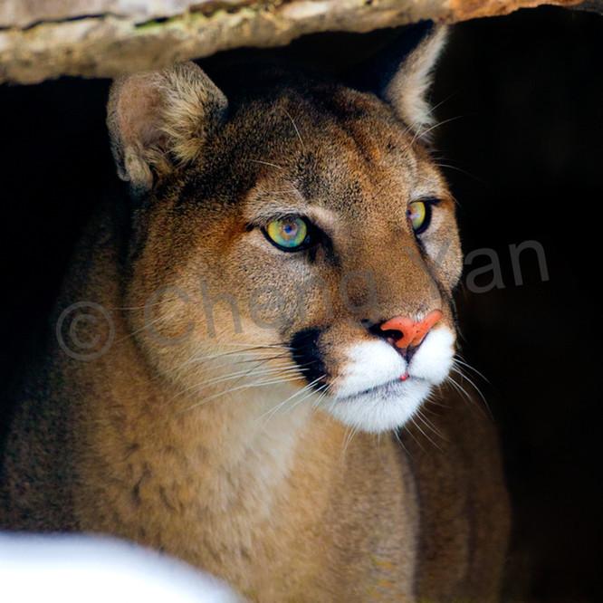Cougars 006 vlqidy