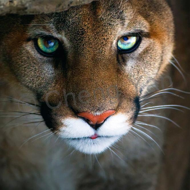 Cougars 002 fmfm6r