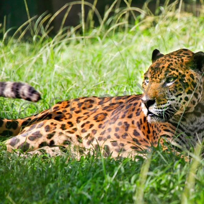 Jaguars 001 r35jfq
