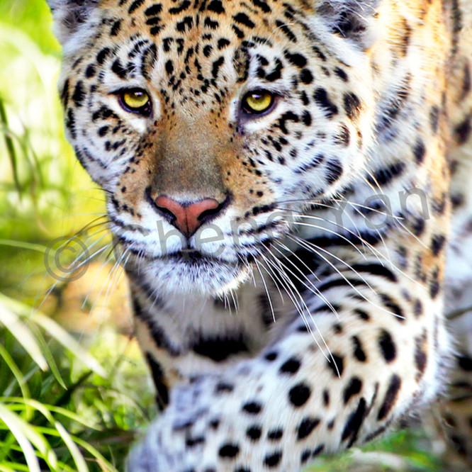 Jaguars 003 aszzog