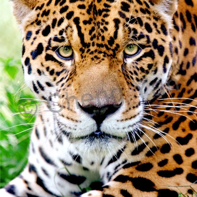 Jaguars 002 axtbng