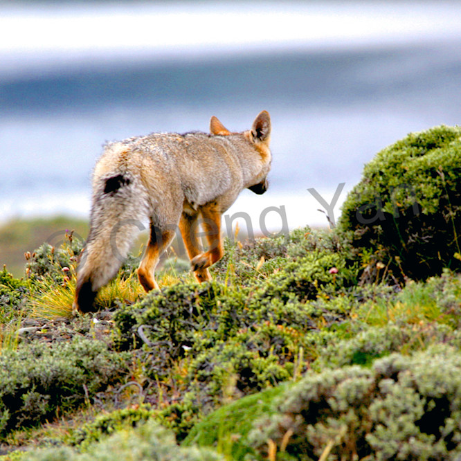 Patagonian foxes 004 ttt4fu