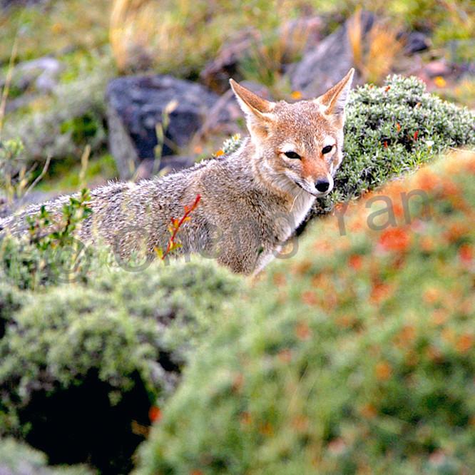 Patagonian foxes 003 jsbkyp