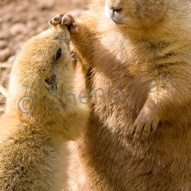 Prairie dogs 002 esilpr