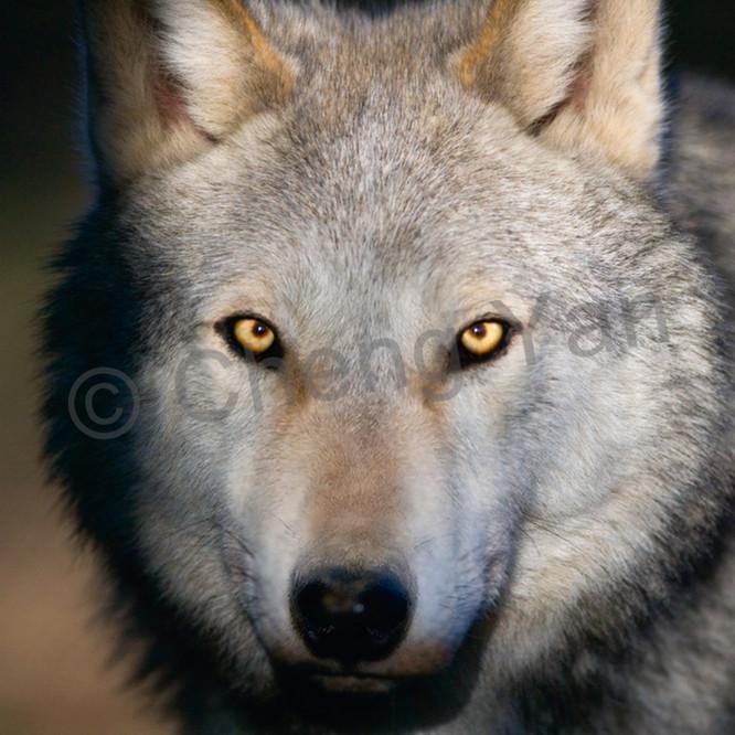 Wolves 006 odg6rf