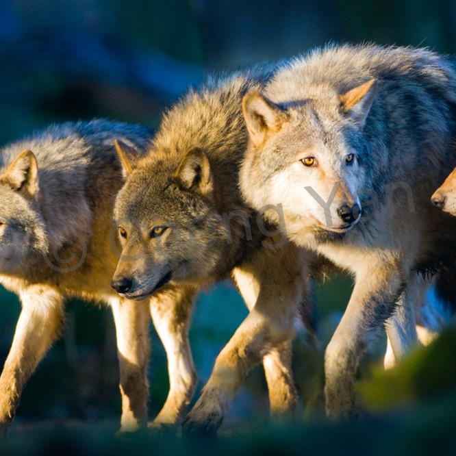 Wolves 001 splrw8