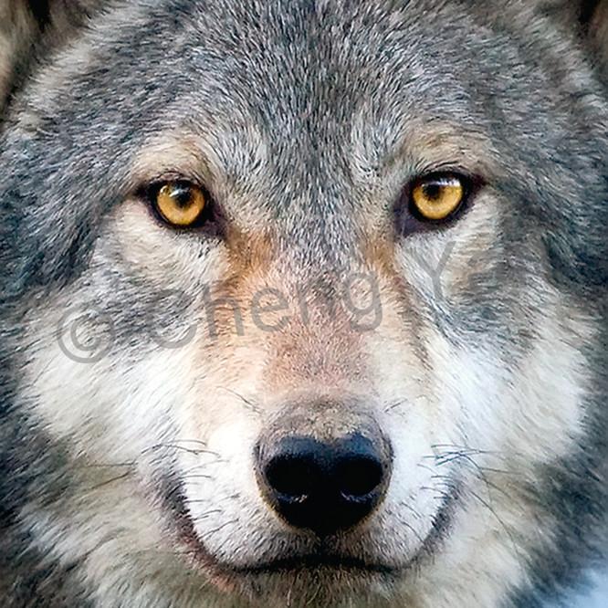 Wolves 007 fq4meu