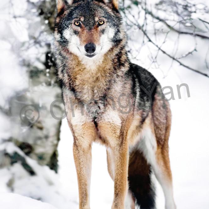 Wolves 008 bn8bae