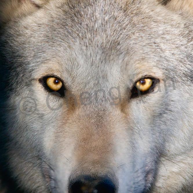 Wolves 009 wcwsic