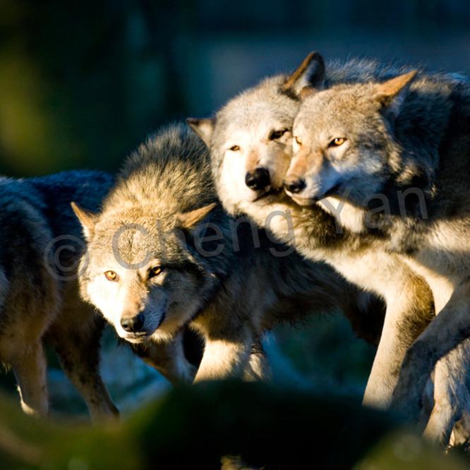 Wolves 012 lnpsh6