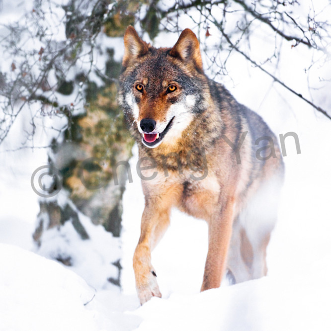 Wolves 017 auogw5