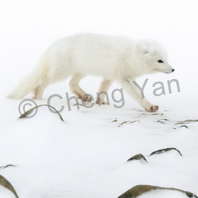 Arctic foxes 005 zvrfhk