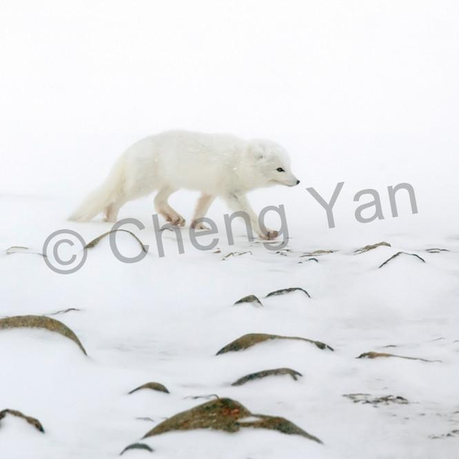 Arctic foxes 006 etbwlx