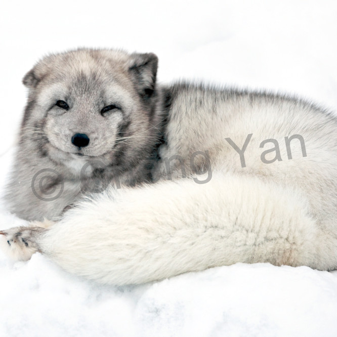 Arctic foxes 009 w27fdr