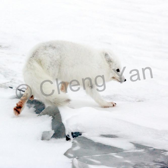 Arctic foxes 007 iyxd17