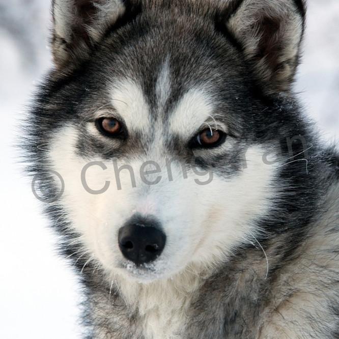 Husky 006 qq7qlp