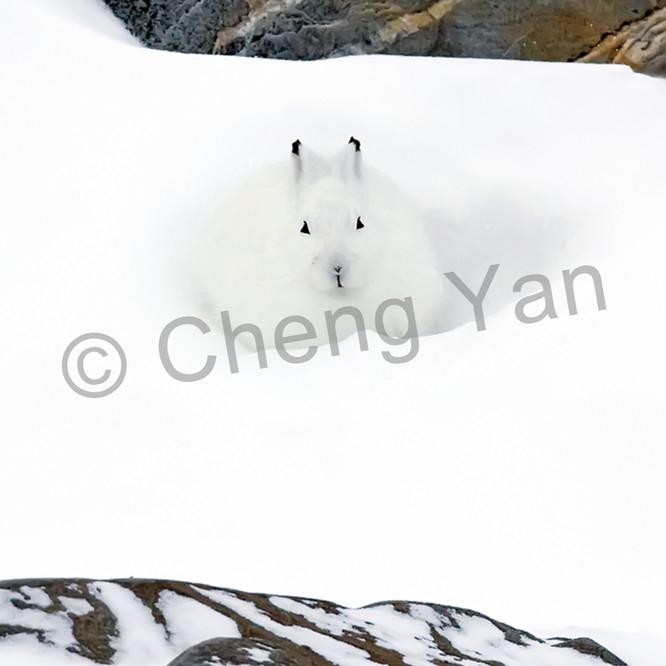 Other arctic animals 001 rxdsm4