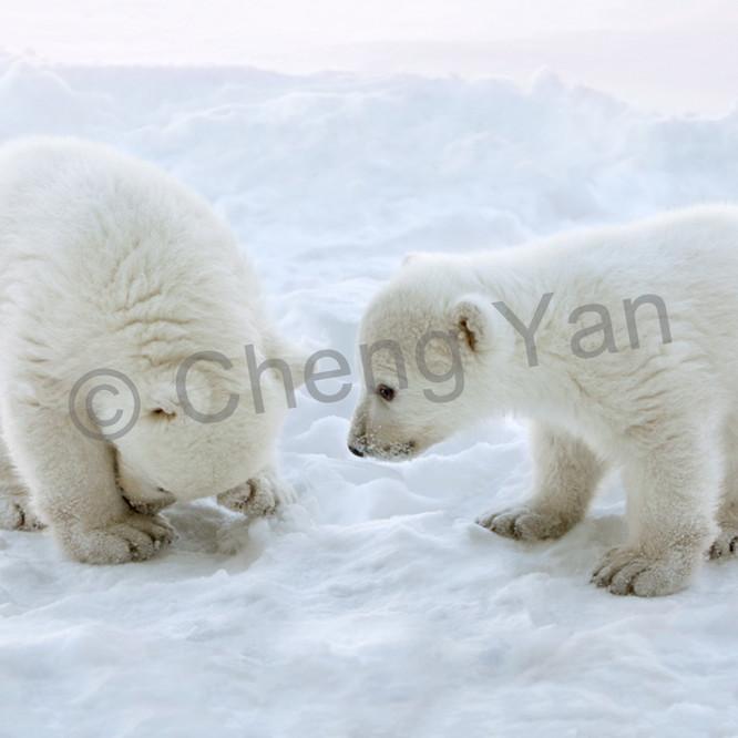 Polar bears 014 uaftaj