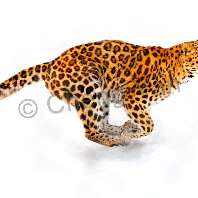 Amur leopards 004 tqpslg