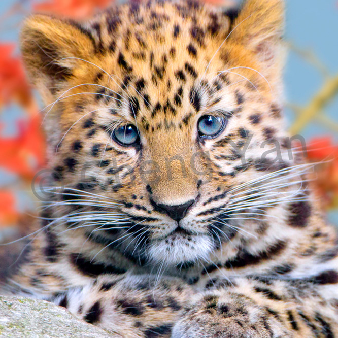 Amur leopards 005 o6vylv