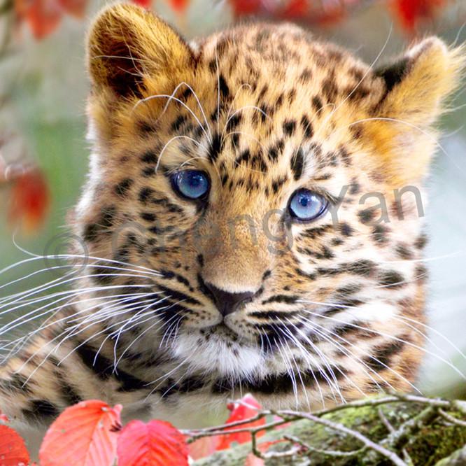 Amur leopards 003 whwz3h