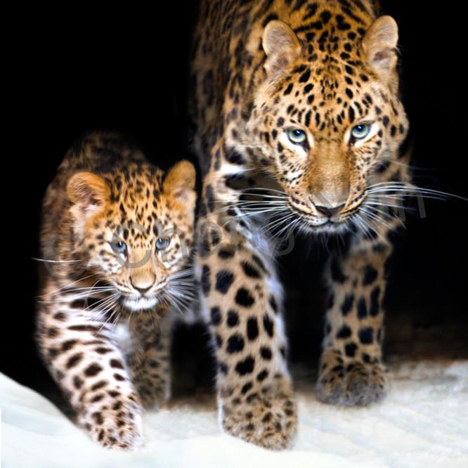 Amur leopards 008 iuw1ey