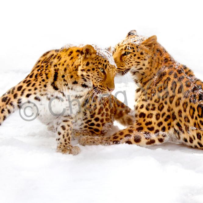 Amur leopards 009 hhmw0z