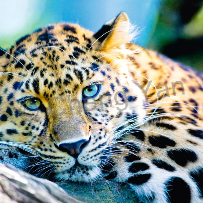 Amur leopards 007 jbdenv