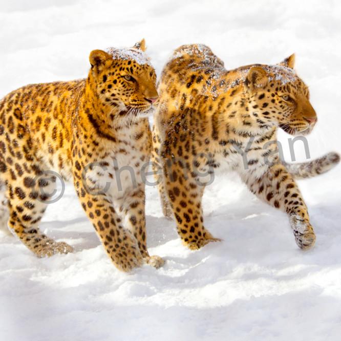 Amur leopards 010 xyxcte