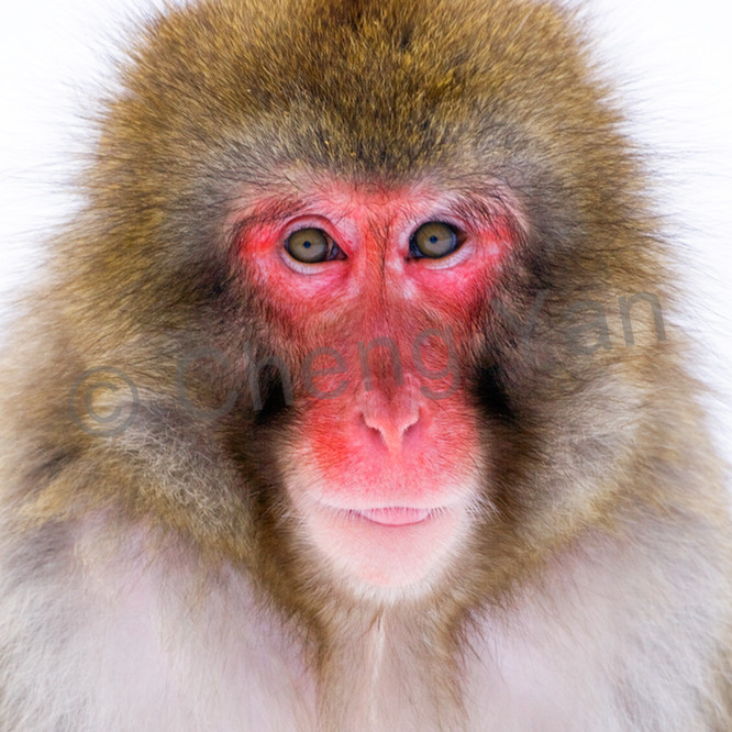 Japanese macaques 006 dlwtlt