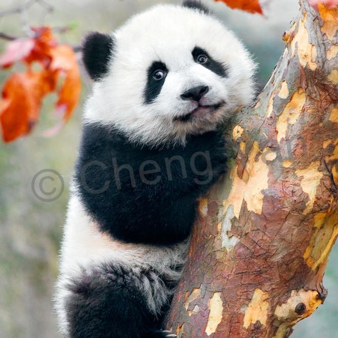 Pandas 026 stmzef