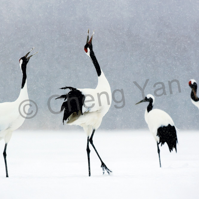 Red crowned cranes 007 kyxlbr
