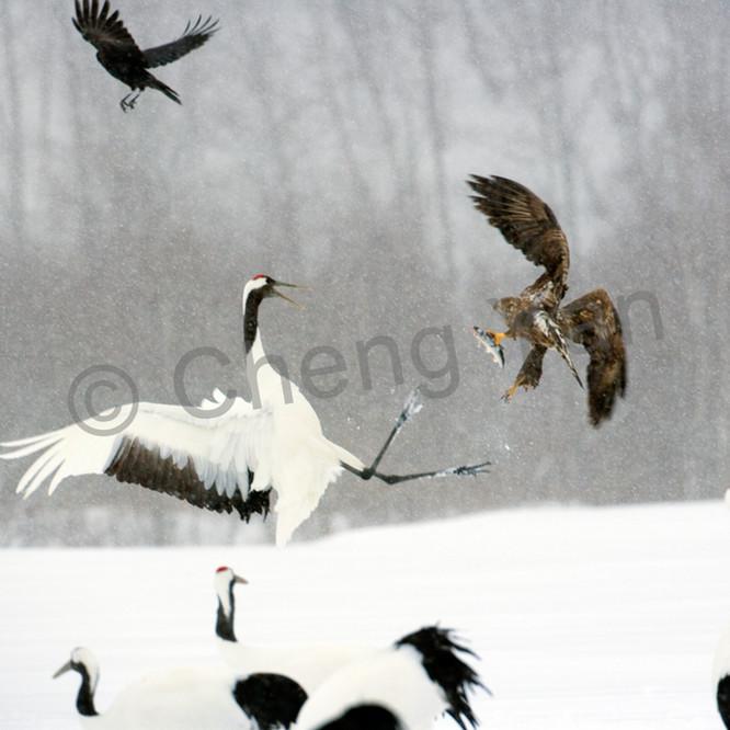 Red crowned cranes 013 bmjl72