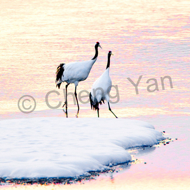 Red crowned cranes 011 xq6aus