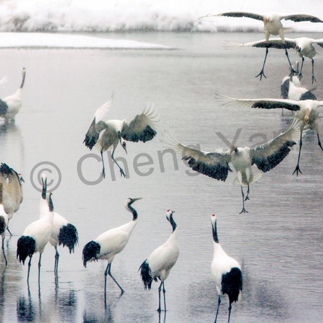 Red crowned cranes 026 vtkqlb