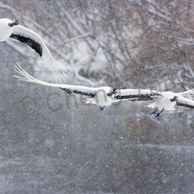 Red crowned cranes 036 jy6zu2